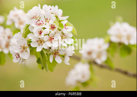 White Pyrus abloom detail, blossoms twig macro, pear tree vibrant efflorescence in April early spring season, little - Stock Photo