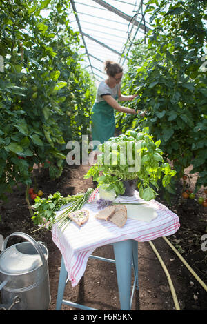 Female gardener among tomato plants in greenhouse - Stock Photo