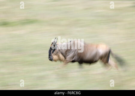 Blue wildebeest, brindled gnu, white-bearded wildebeest (Connochaetes taurinus), running, with motion blur, Serengeti - Stock Photo