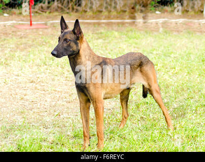 A young, beautiful, black and mahogany Belgian Shepherd Dog standing on the grass. Belgian Malinois are working - Stock Photo