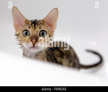 Female Bengal cat kitten looking at camera whilst having bath and shower in bathtub  Model Release: No.  Property - Stock Photo