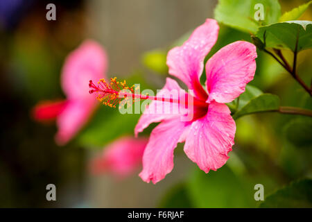 Pink Hibiscus (Hibiscus clayi), Hibiscus, Hibiscus flower, Viñales, Cuba, Pinar del Río, Cuba - Stock Photo