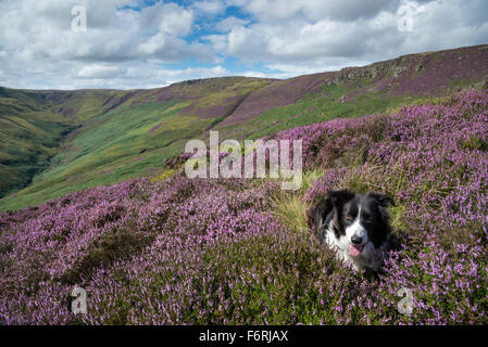 Border Collie lying in purple flowering heather on moorland above Edale in the Peak District, Derbyshire on a sunny - Stock Photo