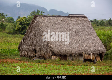 covered with leaves barn for drying tobacco leaves, Viñales, Cuba, Pinar del Río, Cuba - Stock Photo