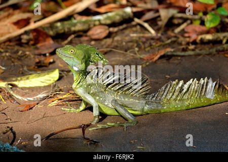 Emerald Basilisk in the Tortuguero National Park - Stock Photo