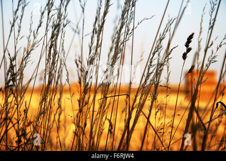 Wild oats Avena fatua with harvested crop in bales in background UK England - Stock Photo