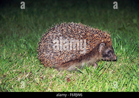 European Hedgehog Erinaceus europaeus in garden at night looking for food - Stock Photo