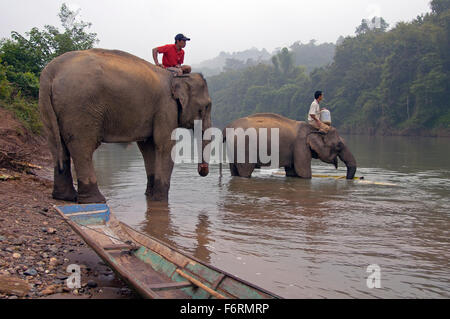 Man on top of an elephant in the Mekong river to wash the mammal - Stock Photo