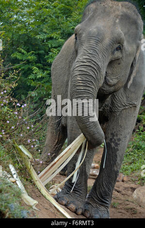 Elephant in jungle near the Mekong river - Stock Photo