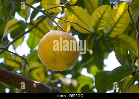 Pomelo, Pummelo, pommelo, pumelo, Shaddock, fruit, Pampelmuse, Frucht, Riesenorange, Adamsapfel, Grapefruit, Citrus - Stock Photo