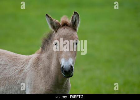 Przewalski's Horse, Asian Wild Horse, foal, Przewalski-Pferd, Fohlen, Przewalskipferd, Wildpferd, Equus ferus przewalskii - Stock Photo