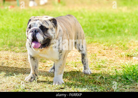 A small, young, beautiful, fawn brindle and white English Bulldog standing on the grass while sticking its tongue - Stock Photo