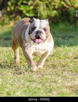 A small, young, beautiful, fawn brindle and white English Bulldog running on the lawn looking playful and cheerful. - Stock Photo