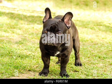 A small,young,beautiful,black French Bulldog standing on the lawn. Frenchies have distinct bat ears, a short face - Stock Photo