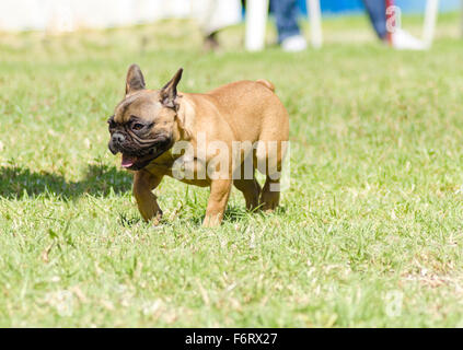 A small,young,beautiful, fawn brown French Bulldog with black mask walking on the grass looking playful and cheerful. - Stock Photo