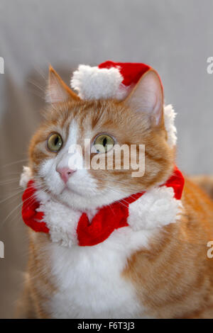 Red and white domestic cat with Christmas hat and collar - Stock Photo