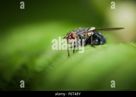 lateral frontal full-body-macro view of a blue bluebottle (Calliphora vicina) sitting on a green leaf - Stock Photo