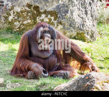 Orangutan Showing his Incisors . A large male orangutan calls out and displays a massive set of orange teeth - Stock Photo