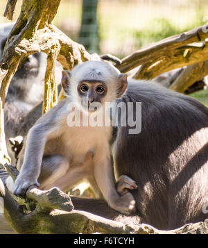 A young Gray Langur pauses for a moment while playing. A baby grey or Hanuman langur stares out with large eyes - Stock Photo