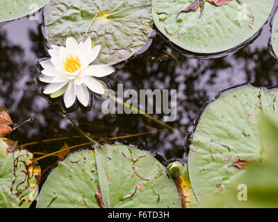 White waterlily floating on a pond. A white lily in full bloom surrounded by black water and green floating leaves. - Stock Photo