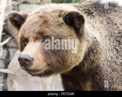 Stuffed Grizzly Bear head. A stuffed brown grizzly bear stands guard near the entrance of an outdoors store in Edmonton. - Stock Photo
