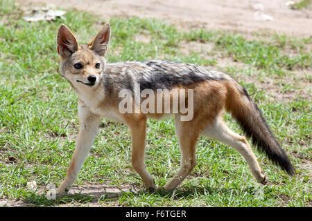 Portrait of black-backed jackal (Canis mesomelas),  Masai Mara National Reserve, Kenya, Africa. - Stock Photo