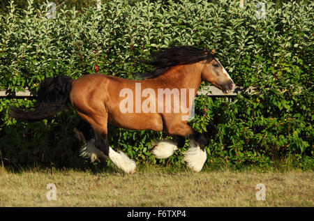 Gypsy Vanner Horse stallion in stud farm - Stock Photo