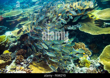 school of snapper fishs on coral reef - Stock Photo