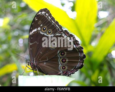 Owl butterfly, Caligo sp., in Amazon rainforest. Madidi Park, La Paz Region. Bolivia. - Stock Photo