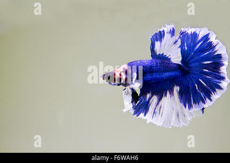 Betta fish, siamese fighting fish, betta splendens (Halfmoon betta ) swimming in the aquarium tank - Stock Photo