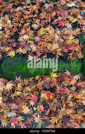Fallen Acer tree leaves in autumn - Stock Photo