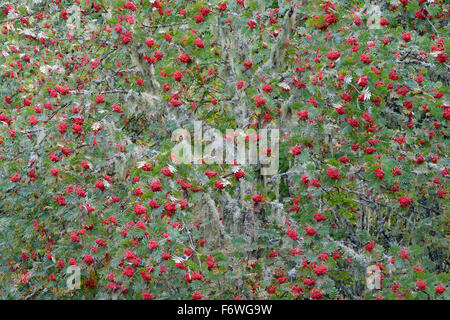 European Rowan (Sorbus aucuparia ) tree with red berries during autumn in French alps. - Stock Photo