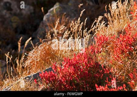 Blueberry bush in autumn colours, Fagaras Mountains, Transylvania, Romania - Stock Photo
