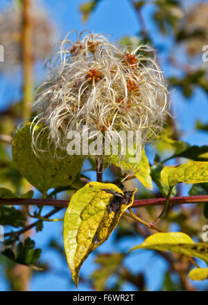 Old Man's Beard (clematis vitalba) seedhead - Stock Photo