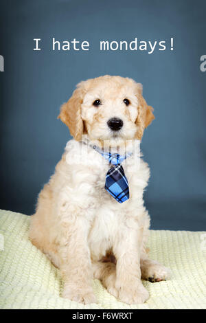 Cute goldendoodle puppy with plaid tie - Stock Photo