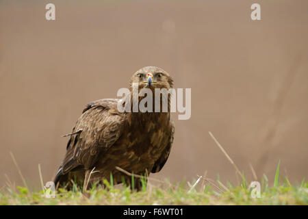 Lesser Spotted Eagle (Aquila pomarina) in spring. Europe - Stock Photo