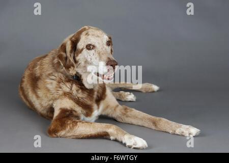 Beautiful big mixed labrador and Australian shepherd dog in studio - Stock Photo