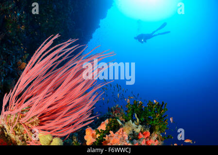 Ellisella cercidia, Coralreef with Sea Whip Coral and scuba diver, Alor, Indonesia, Pantarstrait, Indian Ocean - Stock Photo
