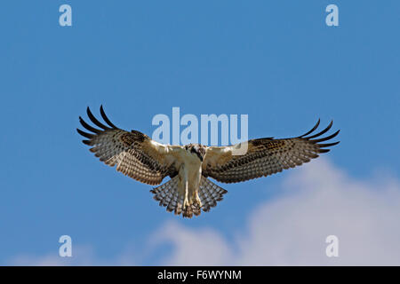 Osprey (Pandion haliaetus) in flight, hovering to look for fish below - Stock Photo