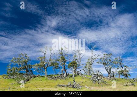 Live and dead koa trees (Koa acacia) against sky of cirrocumulus clouds along Mana Road in Hamakua District - Stock Photo