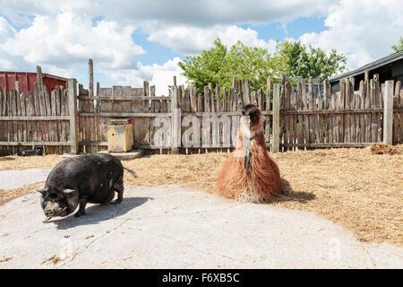 Llama and pot-bellied pig on farm; Caledon, Ontario, Canada - Stock Photo
