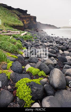 Plants grow on a volcanic rock beach with dark rocky cliffs in the background, St. Paul Island, Southwestern Alaska, - Stock Photo