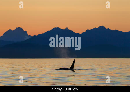 Orca Whale (Killer Whale) (Orcinus orca) surfaces in Lynn Canal on a summer evening, Inside Passage; Alaska, USA - Stock Photo