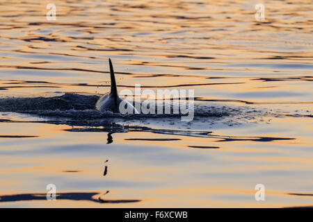 Young orca Whale (Killer Whale) (Orcinus orca) surfaces in Lynn Canal on a summer evening, Inside Passage; Alaska, - Stock Photo