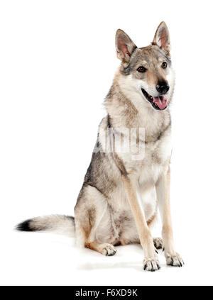 Czechoslovakian wolf dog or wolf-dog, a hybrid between a German Shepherd dog and Carpathian wolf - Stock Photo