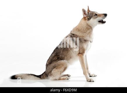 Czechoslovakian wolf-dog, a hybrid between a German Shepherd dog and Carpathian wolf - Stock Photo
