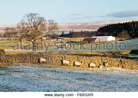 Holwick, Middleton-in-Teesdale, Co Durham UK 21st November 2015 Sheep shelter from the cold wind after the overnight - Stock Photo
