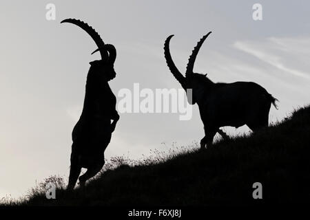 Alpine ibex, High Tauern National Park, Carinthia, Austria, Europe / Capra Ibex - Stock Photo