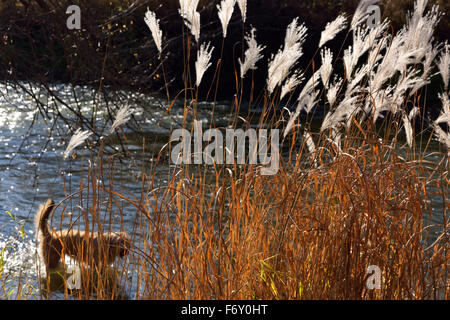 Pet dog splashing in the Humber river in a Toronto Park in Autumn with Pampas Grass - Stock Photo