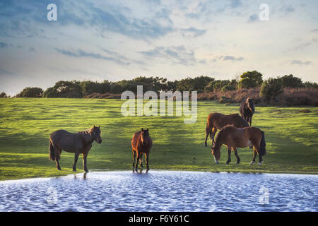 wild New Forest ponies drinking out of a pond near Lyndhurst, Hampshire, England, UK - Stock Photo